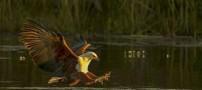 شکار بسیار جالب و دیدنی این عقاب آفریقایی  زیر آب
