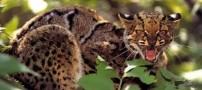 با پنج گربه ی شگفت انگیز در دنیا آشنا شوید (عکس)