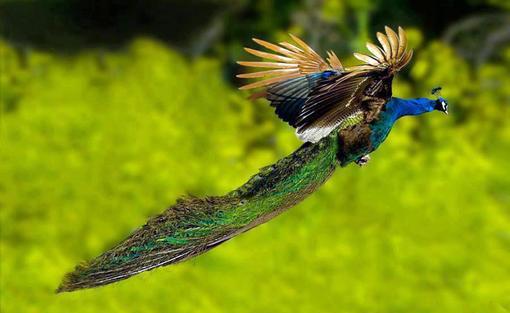 تا حالا با چشمتون پرواز این پرنده رو دیده بودید؟ (عکس)