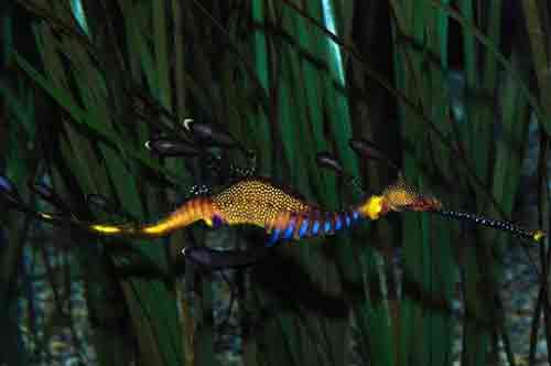 آیا به راستی اژدهای دریایی وجود دارد؟! (عکس)