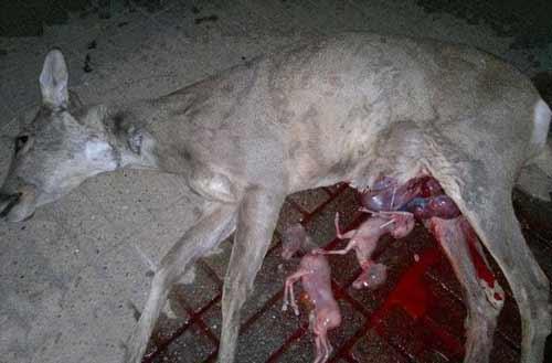 تصویری بسیار دلخراش و دردناک از مرگ یک گوزن ماده