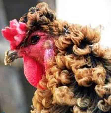 تاحالا خروس واقعی با موهای فرفری دیده بودید؟