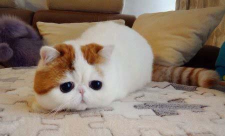 این گربه در کل دنیا طوفان به پا کرده است! (عکس)