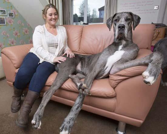 عکس های عجیب از بلند قدترین سگ در انگلستان
