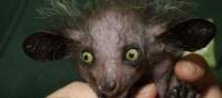 تصاویری از آی آی ، زشت ترین میمون جهان