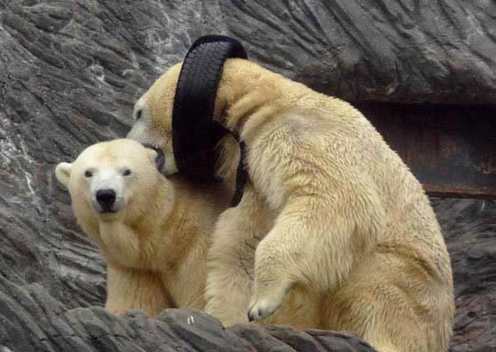 گردنبند بسیار جالب یک خرس قطبی (عکس)