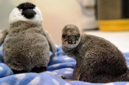 آرام کردن بچه پنگوئن با مادر قلابی جالب (عکس)