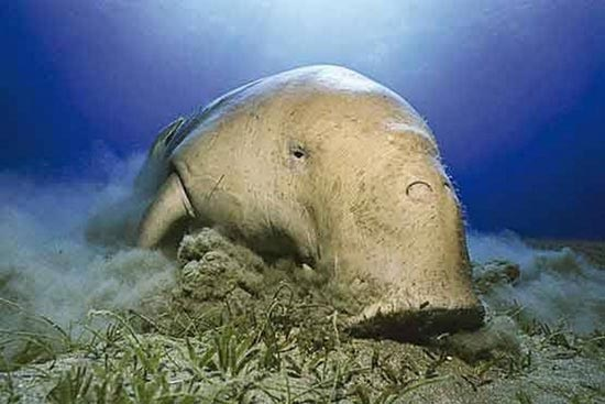 وجود گاو دریایی در خلیج فارس (عکس)