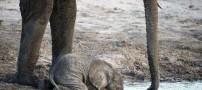 این بچه فیل نمی تواند با خرطوم آب بخورد! (عکس)