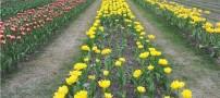 نمایشگاه گل لاله در شهر لاهور (عکس)