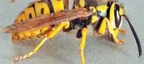 خطرات زنبور گزیدگی و اقدامات درمانی آن