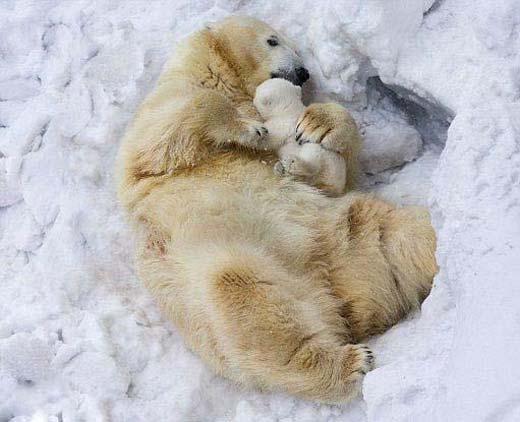 تصاویری جالب از خرس قطبی و بچه خرس