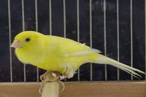 علت اینکه پرنده ها آواز می خوانند چیست؟
