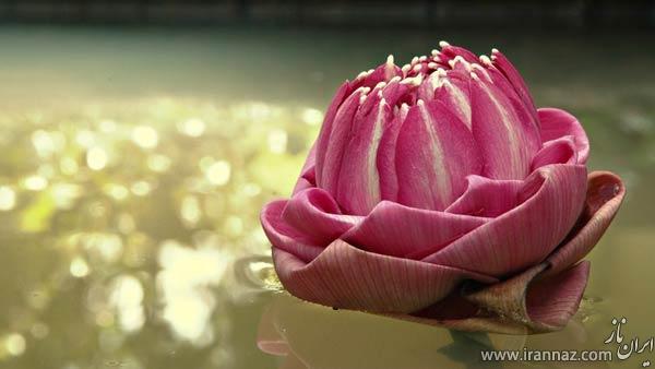 تصاویری از گل های زیبا در طبیعت