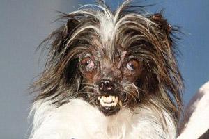 این سگ زشت ترین سگ جهان شناخته شد (عکس)