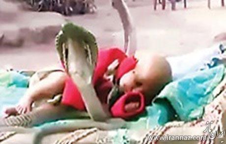 محافظت حیرت انگیز این کودک توسط 4 مار کبری! (عکس)