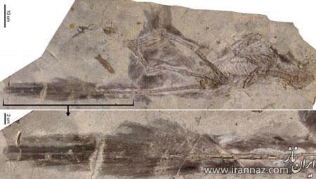 کشف اسکلت بزرگترین دایناسور دنیا درچین (عکس)