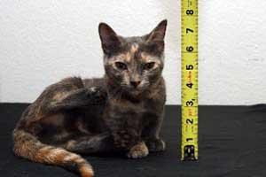 کوتاه قدترین گربه جهان (عکس)