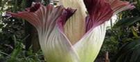عجیب ترین گیاه بدبو رونمایی شد (عکس)