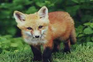 وجود یک روباه اسرارآمیز در این باغ وحش (عکس)