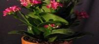 آموزش نگهداری و پرورش از گل کالانکوآ