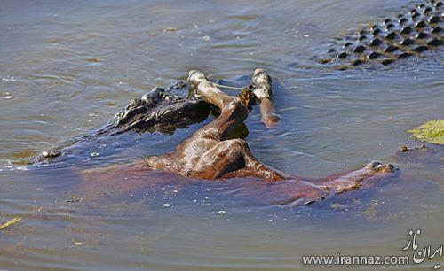 شکار بی رحمانه کره اسب توسط تمساح! (عکس)