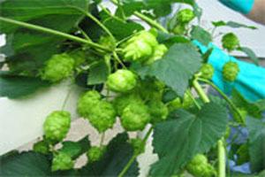 کاربرد و خواص درمانی گیاه رازک