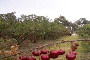 احکام شرعی چیدن میوه از باغ بدون اجازه صاحب آن