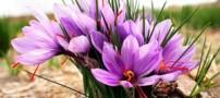 زعفران از این بیماری جلوگیری می کند