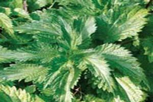 گزنه بهترین گیاه برای درمان کم خونی خانم ها