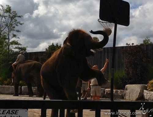 بسکتبال بازی جالب و دیدنی یک فیل! (عکس)