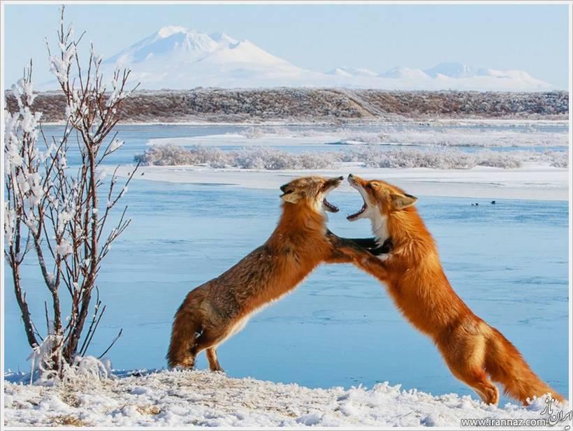 عکس های زیبا و خارق العاده از حیوانات و حیات وحش