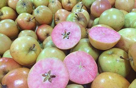 سیب های رنگارنگ عجیب در انگلستان (عکس)