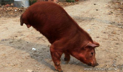 پیدایش یک خوک دو پا در چین (عکس)