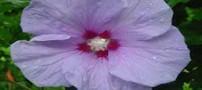 فواید استفاده از گل ختمی چینی و دم کرده آن