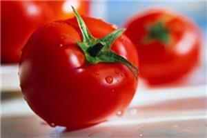 پرورش بزرگترین گوجه فرنگی جهان (عکس)