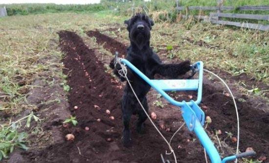 این سگ کارهای مزرعه صاحبش را انجام می دهد! (عکس)