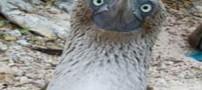 پرنده ای زیبا و در عین حال خنگ با پاهای آبی (عکس)