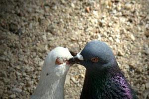 عکس های دیدنی و زیبا از کبوتران عاشق