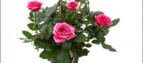نحوه پرورش و نگهداری گل رز در گلدان