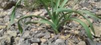 آشنایی با فواید و کاربرد گیاه تره کوهی