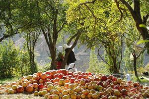 آشنایی با جشن زیبای برداشت محصول انار