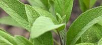 گیاه مریم گلی و خواص بی نظیر آن