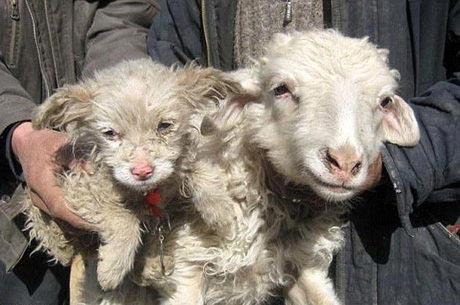 ظاهر عجیب گوسفندی که شبیه توله سگ است! (عکس)