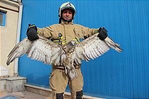 نجات عقابی که در دکل برق گرفتار شده بود