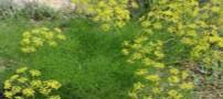 7 خاصیت مهم گیاه رازیانه از دیدگاه علم پزشکی