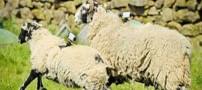 استفاده از گوسفندها برای افزایش سرعت اینترنت