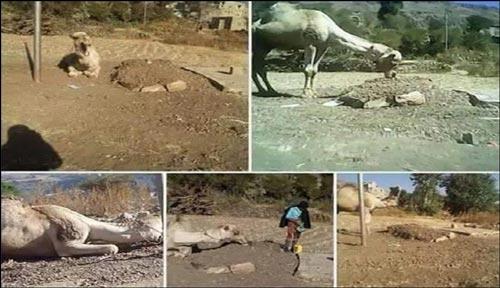 اقدام اعجاب انگیز یک شتر پس از فوت صاحبش! (عکس)