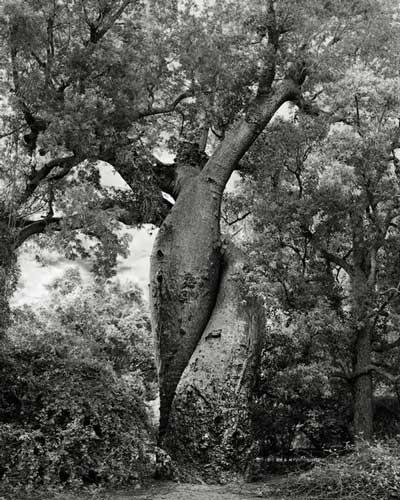 پرتره های زیبا و بی نظیر از درختان تنومند