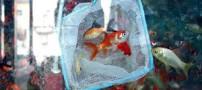 جراحی 300 پوندی روی ماهی قرمز